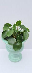 Houseplant - Chinese Money Plant - 12cm pot - Approx. 20cm