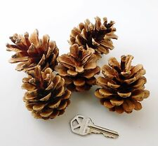 50 Large Hand Picked Pine Cones