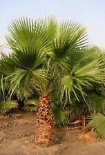 MEXICAN FAN PALM SEEDS WASHINGTONIA ROBUSTA INDOOR OUTDOOR EDIBLE FRUIT