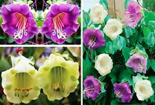 Seeds Cathedral Bells Cup and Saucer Vine Cobea Perennial Flower Plant Ukraine