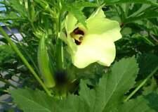 Graines de GOMBO, les herbes, et des épices, produits de mon jardin, GOMBO bio,