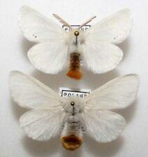 Euproctis chrysorrhoea pair from Poland (mounted)