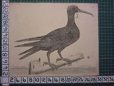 c1735 PRINT THE FRIGATE BIRD ~ ANTIQUE BIRD PRINT ELEAZER ALBIN ~