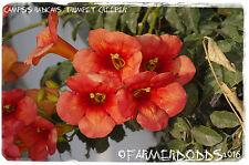 Campsis radicans 'trompeta Enredadera' [Prov: Creta, Grecia] 50+ semillas