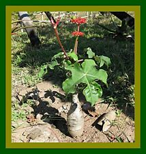 *UNCLE CHAN* 5 SEED JATROPHA PODAGRICA VERY RARE BUDDHA BELLY SUCCULENT PLANT