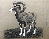 Karl Adser 1912-1995 Mufflon Wild Sheep Ovis Aries Musimon Nature