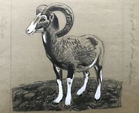 Karl Adser 1912-1995 Mufflon Wildschaf Ovis aries musimon Natur