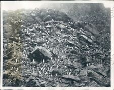 1935 Bogoslof Island in Bering Sea Alaskan Murres Nest During Season Press Photo