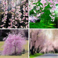 20Pcs/Pack Cherry Blossom Tree Seeds Exotic Flowers Showy Bonsai Garden Plant