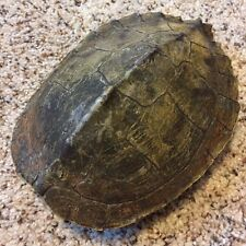 Real Turtle Shell - 7 - 8 inch Long - Map Turtle - Carapace Taxidermy #2