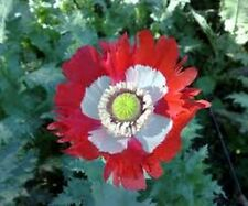 Poppy Danish Flag (Papaver Somniferum Danish Flag)- 500 seeds