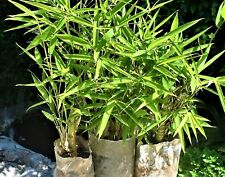 Piante di Bambù: ottime singole o per formare siepi compatte anti intrusione!