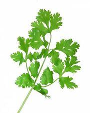 100 Fiesta Green Cilantro / Coriander Coriandrum Sativum Herb Vegetable Seeds