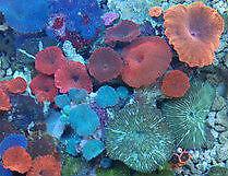 Aquarium Mushroom Corals
