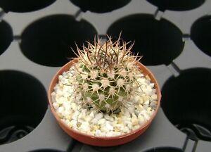 Pyrrhocactus (Eriosyce) bulbocalyx !!! OWN ROOTS !!! Rare Cactus 01171