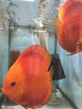 Red Melon Discus Fish Pair 8""