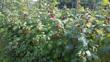 10 Himbeerpflanzen (Ableger) aus eigenem Biogarten wurzelnackt 2 x tragend
