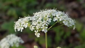 Cow Parsley - Anthriscus sylvestris - 100 Seeds - Wildflower - Queen Anne's Lace