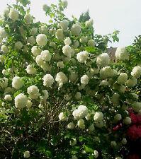 Echter Schneeball Viburnum opolus Roseum 40-60cm Frühlingsblüher