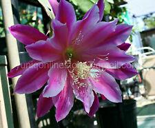 (1) Epiphyllum CUTTING Orchid Cactus Succulent Cereus ~Giant Fuchsia~