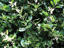 Quercus Ilex in 7cm pot - Holm Oak / Evergreen Oak