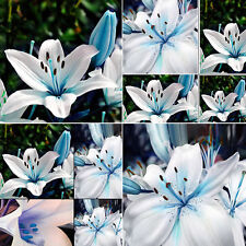 50 un. oriental natural Lily Azul Blanco Fragante Jardín Planta Bulbos Semillas De Flores