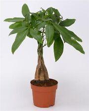 Pachira Aquatica plant - plaited stem. Guiana Chestnut Tree approx. height 40cm