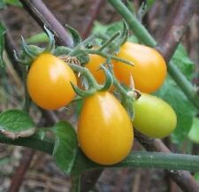"""Tomato """"Yellow pear"""" Seeds 25 Seeds"""