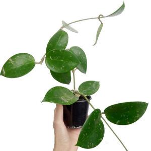 Hoya Parasitica Heart Leaf - Rare Indoor Plant Houseplant Wax Plant