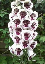 Elsey Kelsey Foxglove 50 Seeds - Digitalis