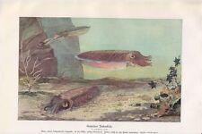 Gemeiner Tintenfisch Kopffüßer (Cephalopoda) Farbdruck 1918