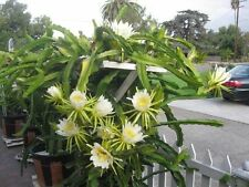 Dragon Fruit Tree - 1 Plants - White Flesh -1 to 2 Feet Tall - Ship in 1 Gal Pot
