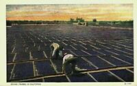 Drying Prunes California CA Farmers Orchard Drying Pans Vintage Postcard
