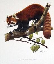 Impression Affiche Histoire Naturelle le petit Panda Roux Ailurus fulgens