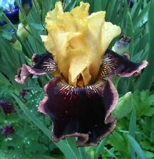 Tall Bearded TB Iris INDULGENCE Red Yellow Rhizome Perennial Plant