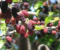 i! SCHWARZE MAULBEERE !i winterhartes frosthartes Garten Strauch Obst Samen