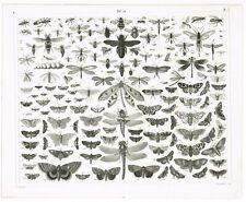ORIGINAL ANTIQUE PRINT VINTAGE 1851 ENGRAVING ENTOMOLOGY INSECT BUTTERFLY FLYING