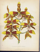 VANDA BATEMANII GRANDIFLORA & ODONTOGLOSSUM GRANDE-Orchid- Mackenzie Set/2 1875
