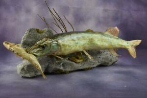 "23"" European Northern Pike w/ trophy Pomatomus saltatrix Bluefish Taxidermy"