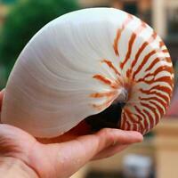 Seltene natürliche Perlmutt Schraube Nautilus Muschelschalen Korallen Samml NEW