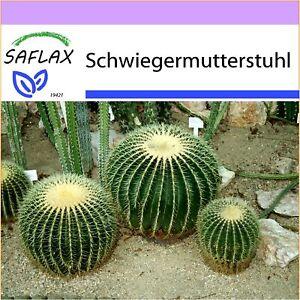 SAFLAX - Kakteen - Schwiegermutterstuhl - 40 Samen - Echinocactus grusonii