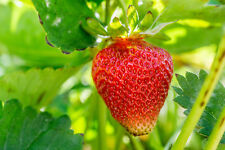 Evie Strawberry Plants, Non Gmo (50)