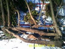 6  [ BARE ROOT] Sassafras Tree