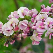 HARDENBERGIA violacea rosea Pink Seeds (N 388)