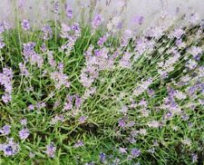 100 Organic English Lavender Seeds Lavandula angustifolia Fragrant Leaves/Flower