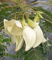 White Dragon Tree, Swamp Corkwood Seed Warm Climate
