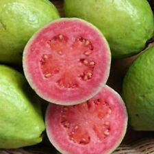 APPLE GUAVA -RED - PSIDIUM GUAJAVA - 10 SEEDS FRUIT - Liveseeds