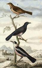 Passereaux Gobe Mouches Azur Oiseaux Cuvier Buffon gravure originale 19e