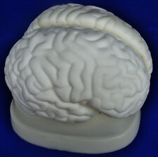 Model Anatomy Professional Medical Educational Brain Model 3 Parts IT-042 ARTMED