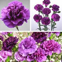Purple Carnation Annual Flowers Seeds Rare Purple Carnation Seed Fragrant Pretty